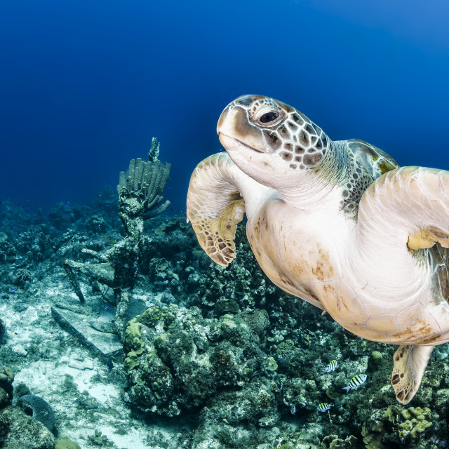 """""""A green turtle in the left with neptune statue in the back and blue background"""" stock image"""