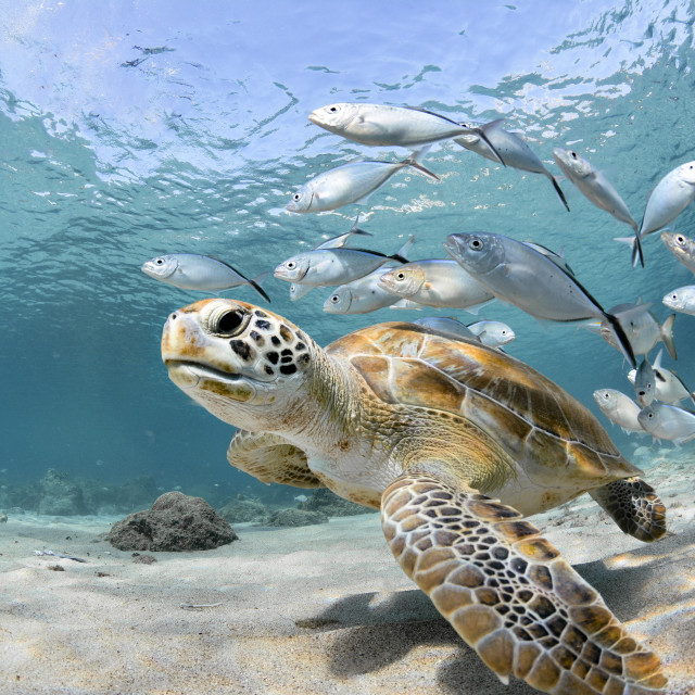 """""""A green turtle with some fish following it"""" stock image"""