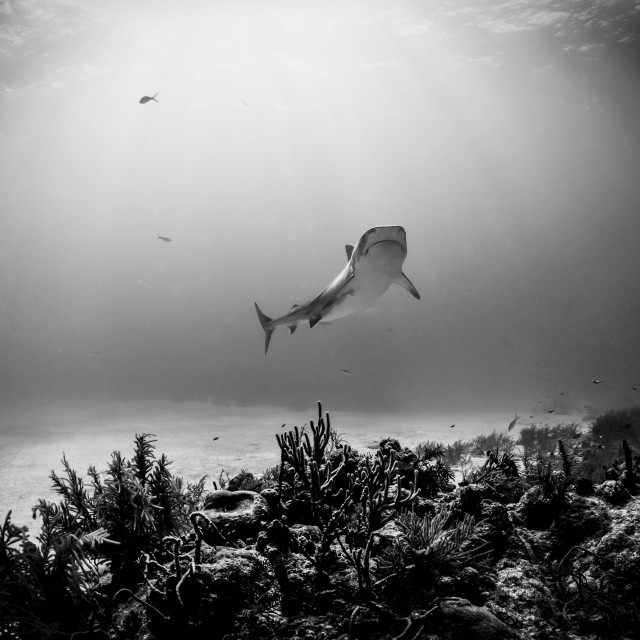"""""""Tiger shark with sunrays and coral reef in the bottom"""" stock image"""