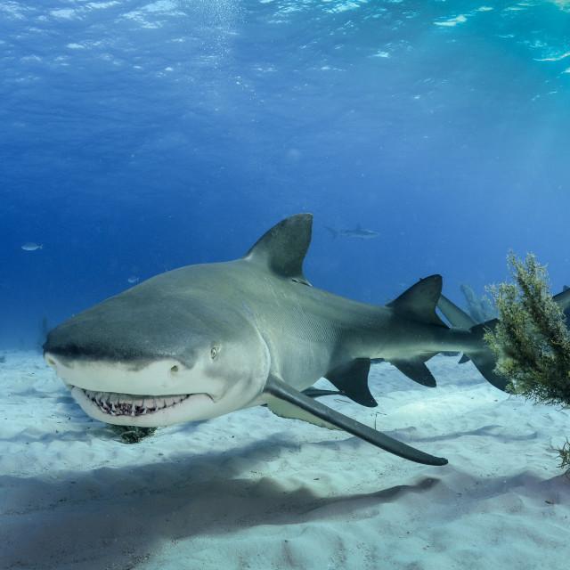 """A lemon shark smiling"" stock image"