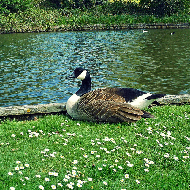 """Canada Goose Resting Warminster"" stock image"
