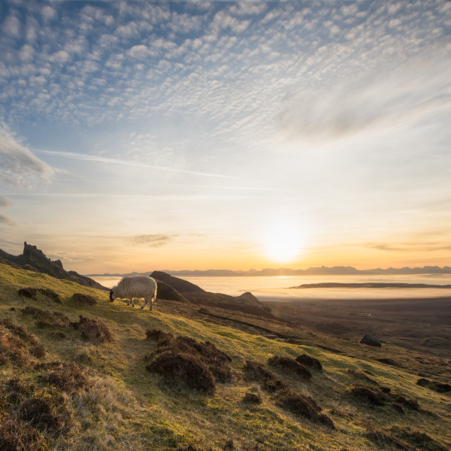 """""""The Quiraing, Isle of Skye, Scotland. The lonely sheep at sunrise"""" stock image"""