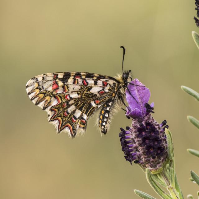 """Spanish festoon (Zerynthia rumina) feeding on Lavender, Andalusia, Spain."" stock image"