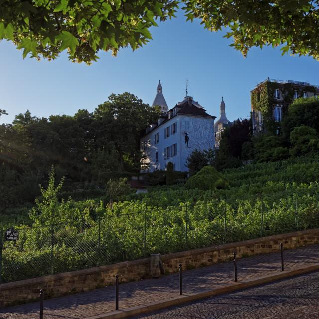 """""""Montmartre vineyard"""" stock image"""
