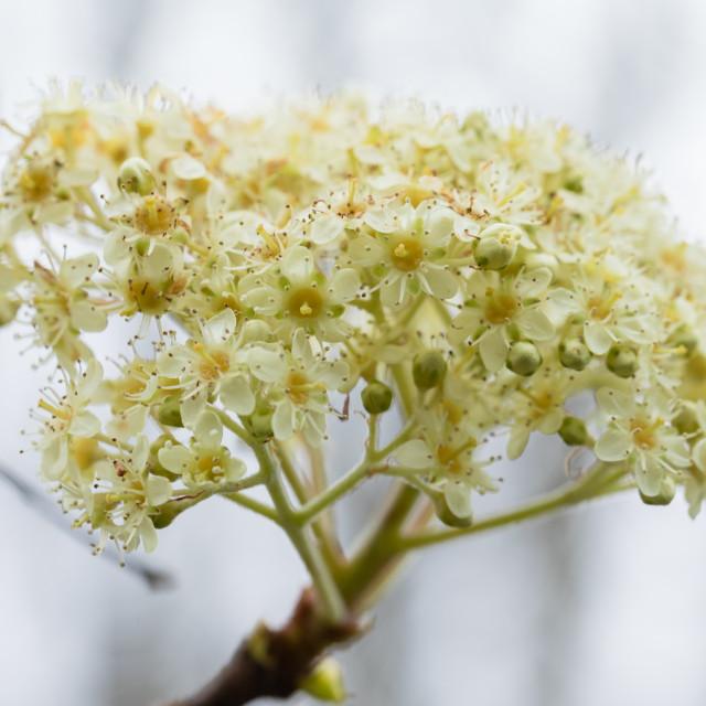 """Sorbus megalocarpa"" stock image"