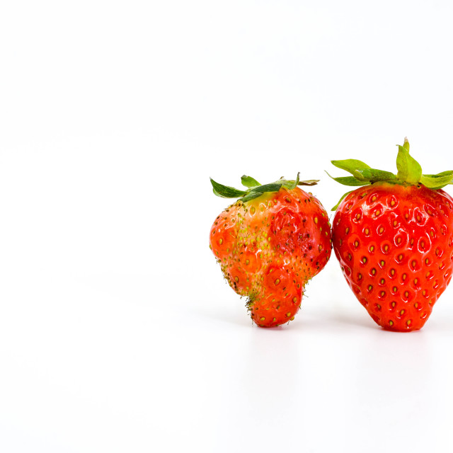 """Close up of two strawberries side by side. On the left is a malformed fruit"" stock image"
