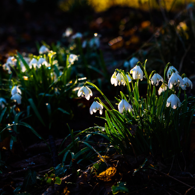 """Backlit Snowdrops"" stock image"