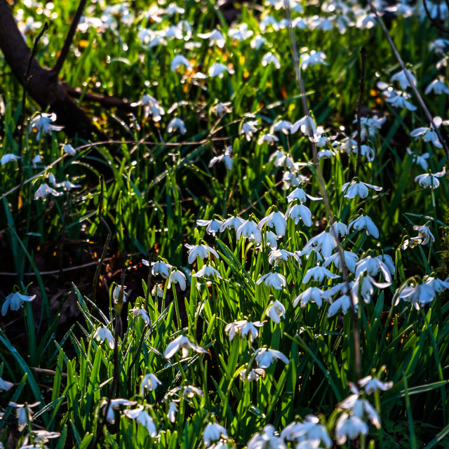 """Carpet of Snowdrops"" stock image"