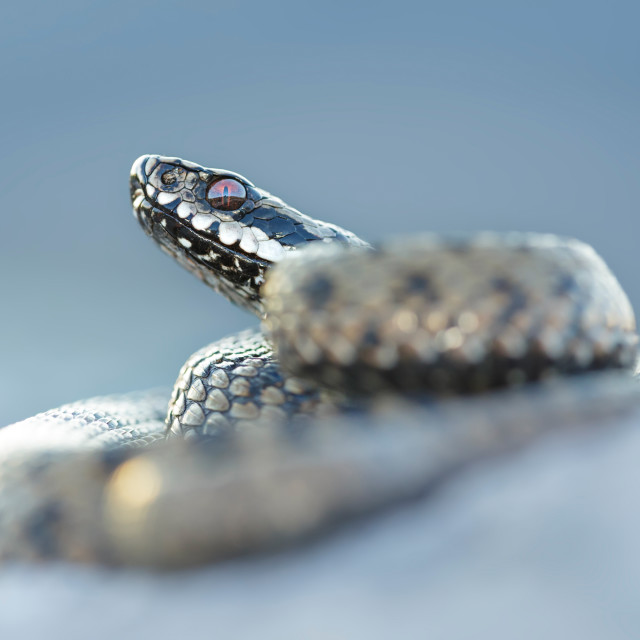 """Common adder"" stock image"