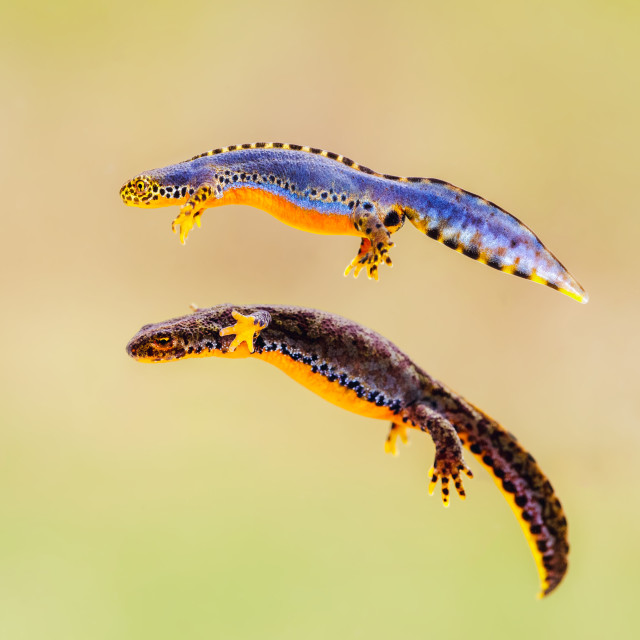 """Ichthyosaura alpestris"" stock image"