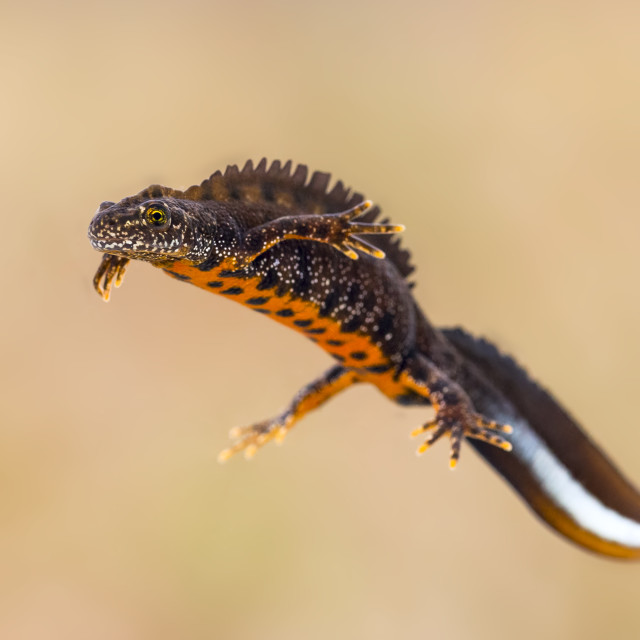 """""""Great crested newt"""" stock image"""