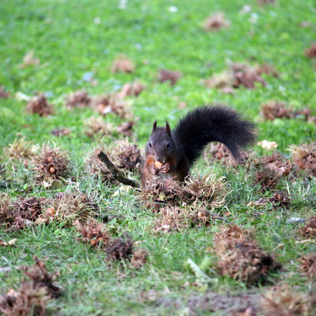 """the squirrel eats a hazelnut wildlife"" stock image"