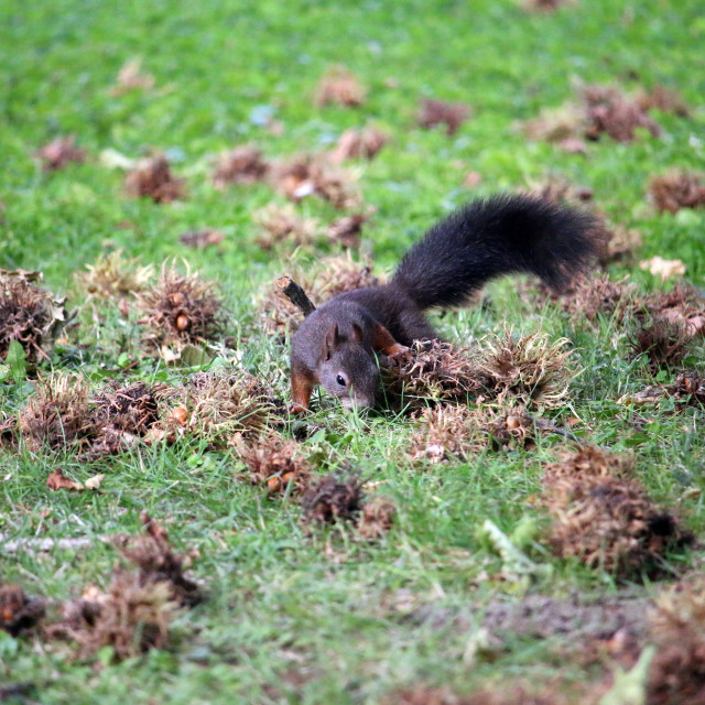 """""""the squirrel is looking for hazelnuts"""" stock image"""