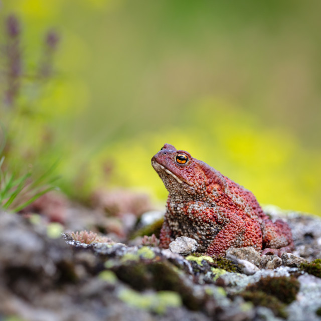 """""""Common toad"""" stock image"""