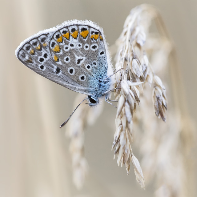 """""""Blue butterfly"""" stock image"""