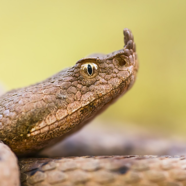 """Nose-horned viper"" stock image"