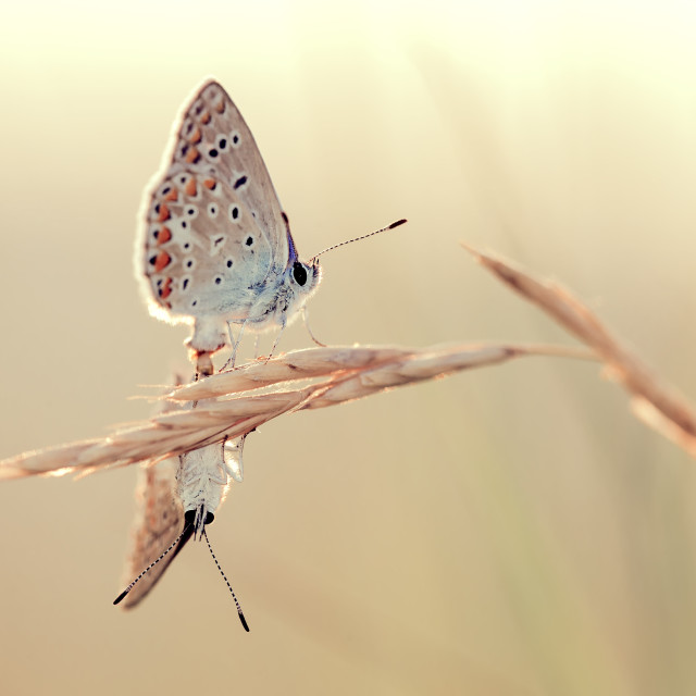 """Blue butterflies"" stock image"