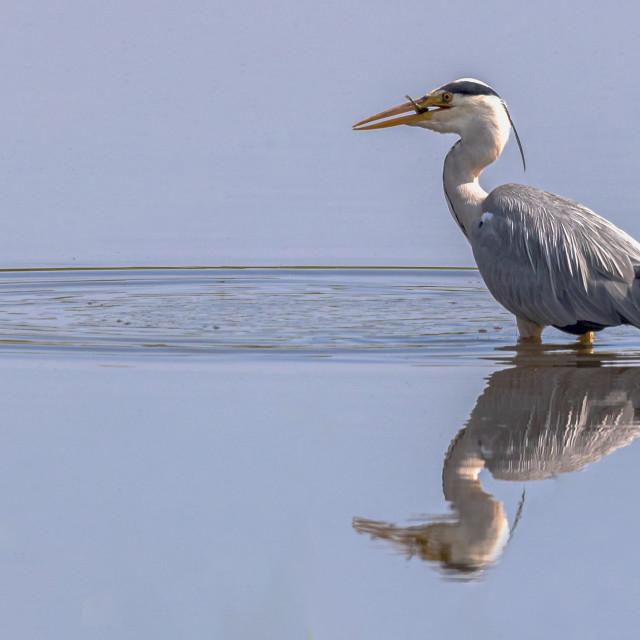 """Heron still water fishing and eating"" stock image"