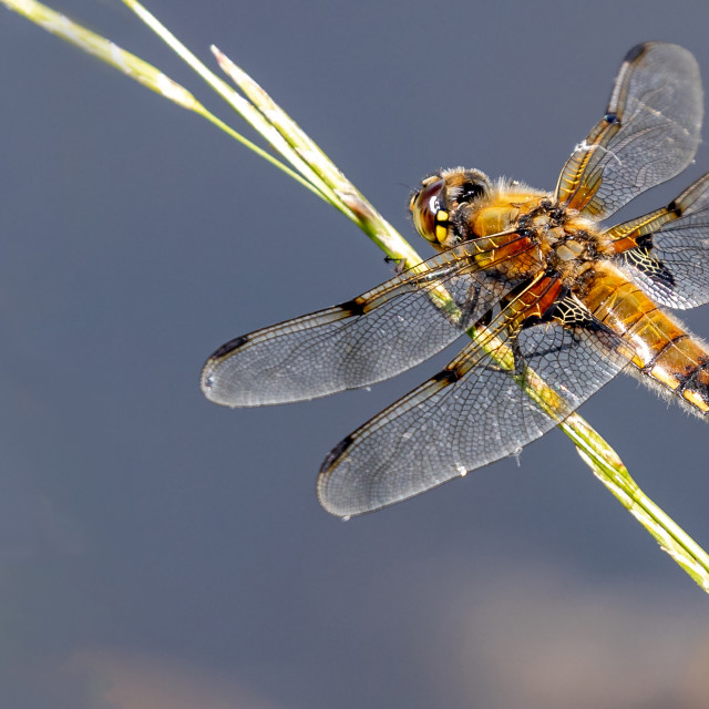 """4 spotted chaser insect on reed"" stock image"