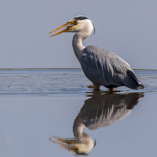 """Grey Heron still water fishing"" stock image"