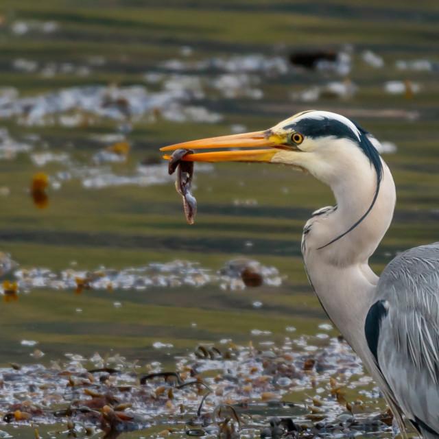 """Grey Heron Bird Eating"" stock image"