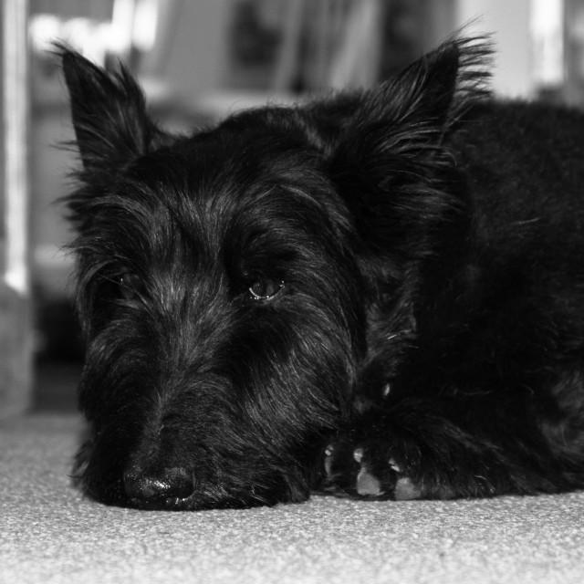 """Scottish Terrier Dog"" stock image"