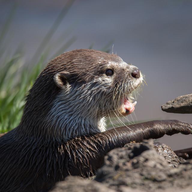 """Otter on land waving paw"" stock image"