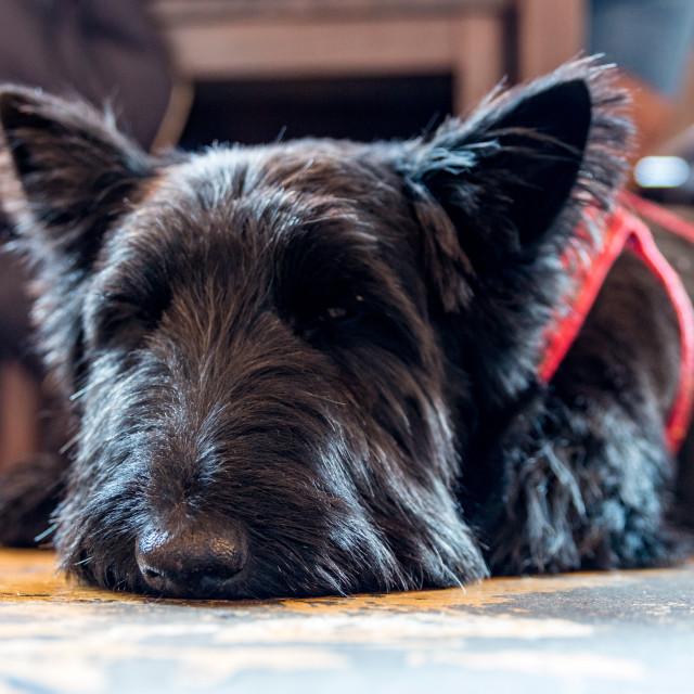 """Scottish Terrier Relaxing"" stock image"