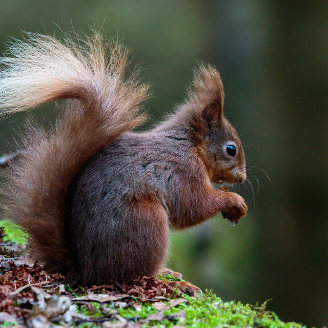 """""""Red Squirrel Eating"""" stock image"""