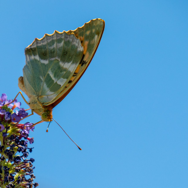 """Silver fritillary butterfly on budliea"" stock image"