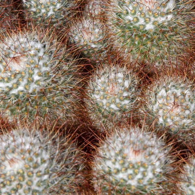 """cacti spiky thorny green balls"" stock image"