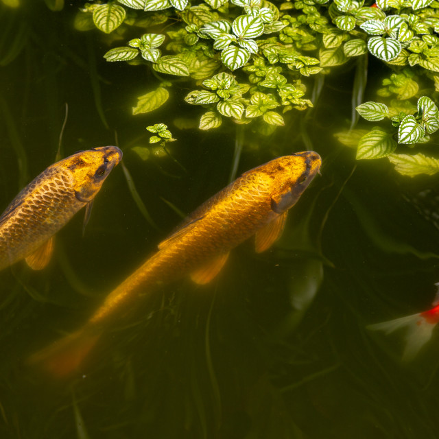 """""""gold fish in a pond three"""" stock image"""