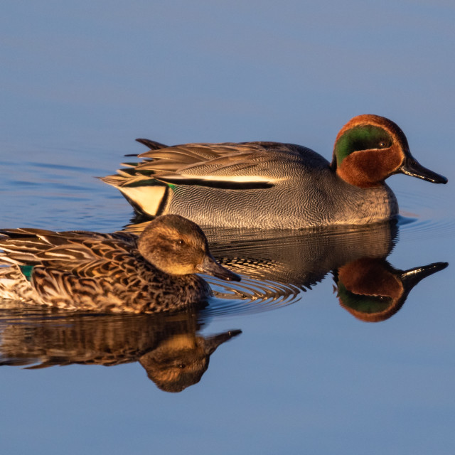 """Teal ducks Pair"" stock image"
