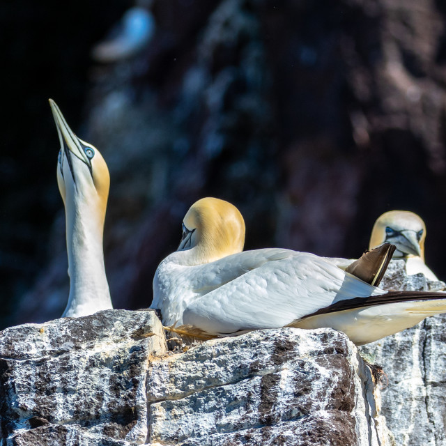"""Gannets Pointing behaviour"" stock image"
