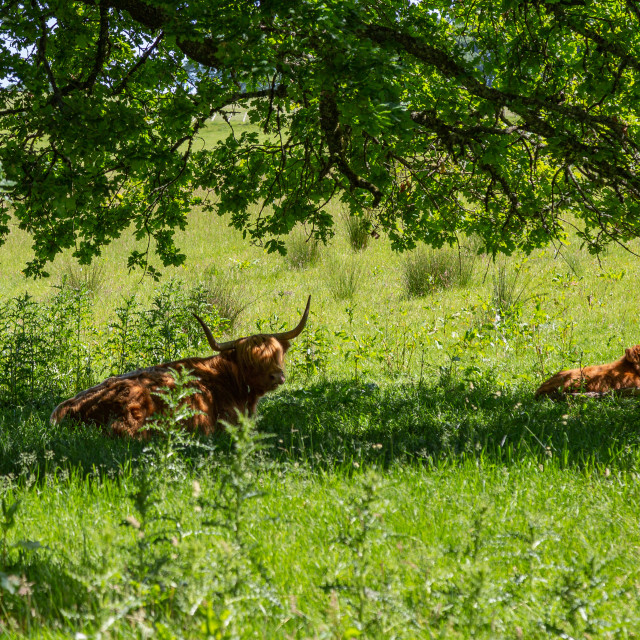 """Highland Cow's under tree"" stock image"