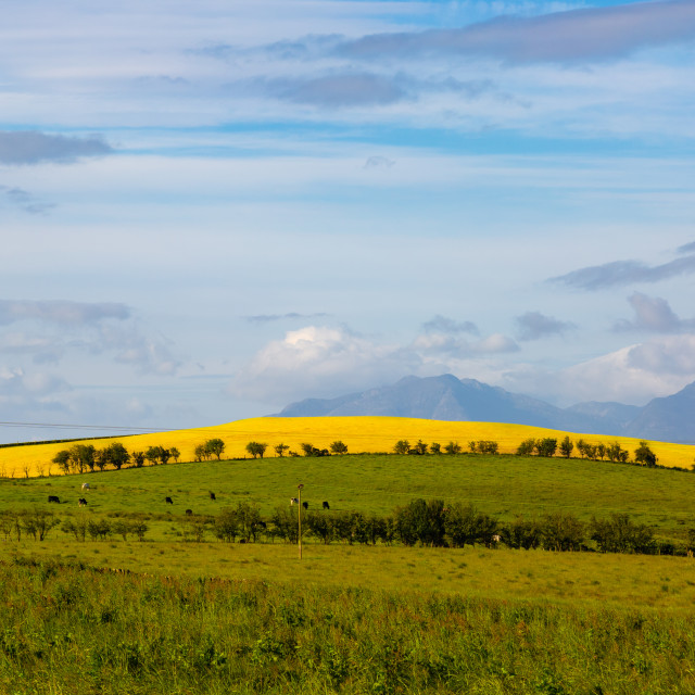 """Yellow Field"" stock image"