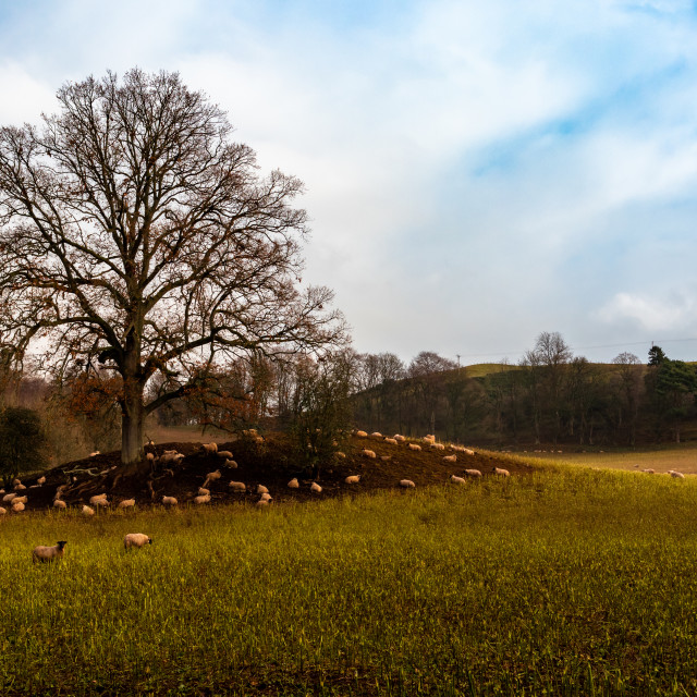 """Golden field with sheep under tree"" stock image"
