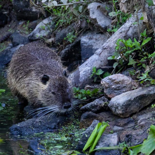 """""""Coypu water rat animal walking"""" stock image"""