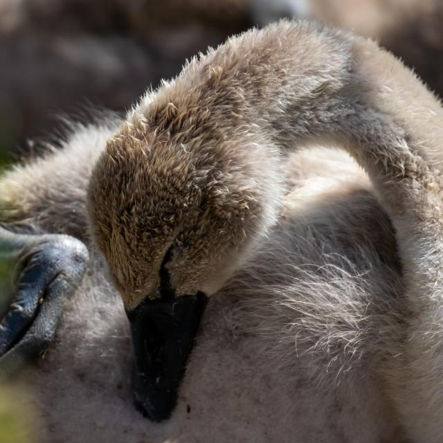 """""""Cygnet Baby Swan Grooming"""" stock image"""
