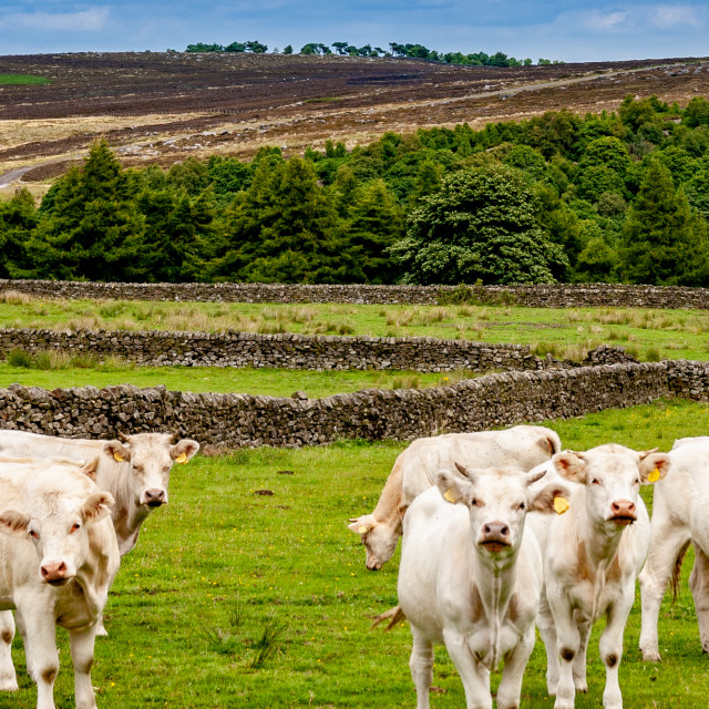 """Charolais Cattle Herd"" stock image"