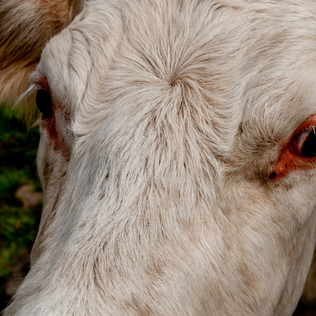 """""""Charolais Cattle Forehead"""" stock image"""