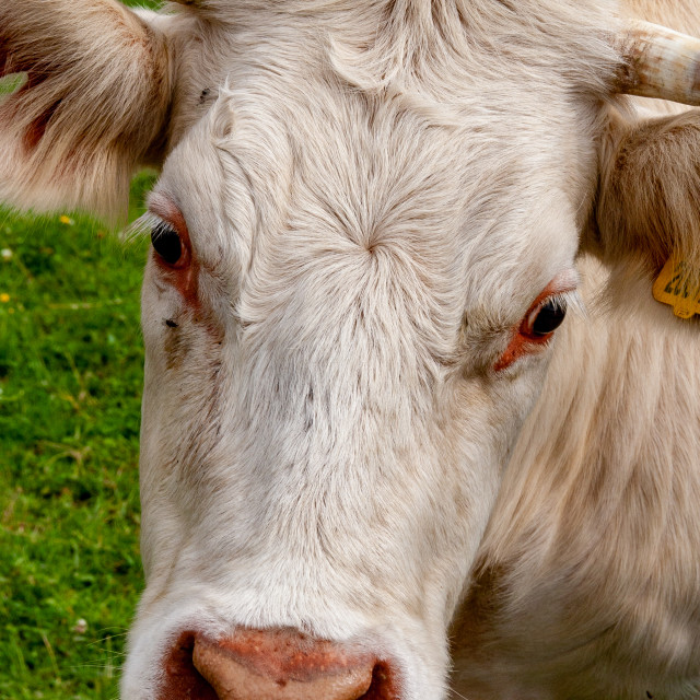"""Charolais Cattle Forehead"" stock image"