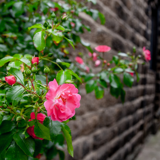 """Rambling Rose on Stone Wall"" stock image"