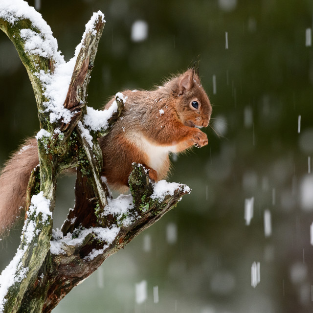 """Red Squirrel - Its Snowing"" stock image"