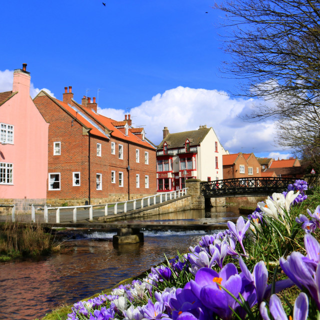 """Crocuses on the bank of River Leven, Stokesley, North Yorkshire."" stock image"