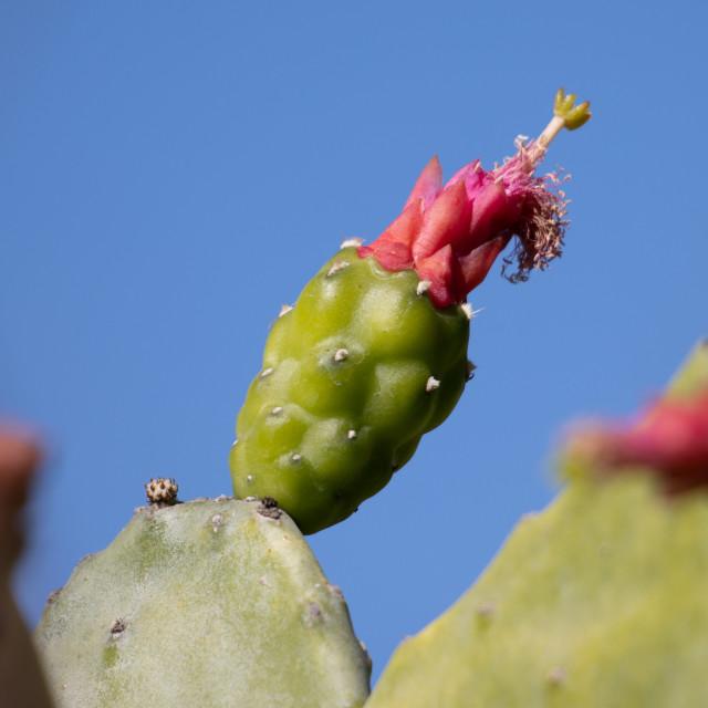 """flower on a cactus garden"" stock image"
