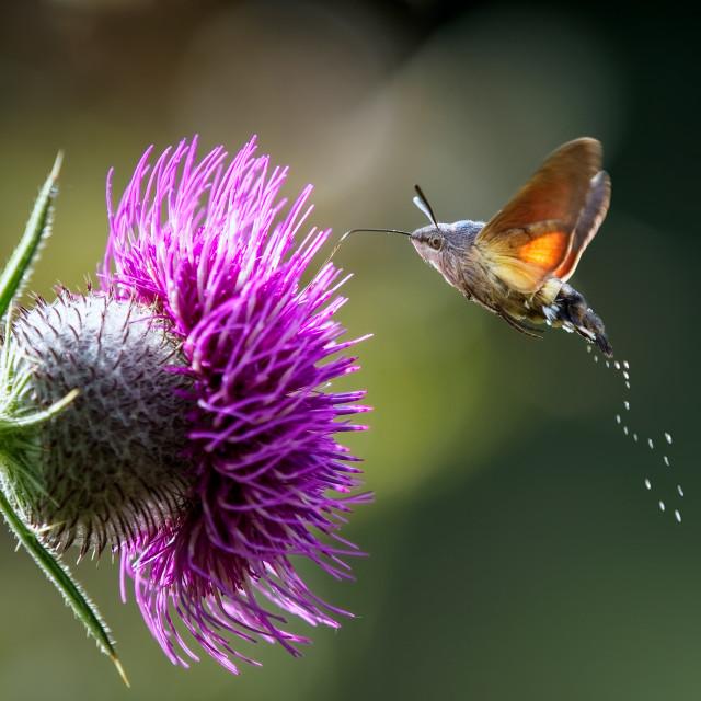 """An hummingbird hawk-moth (Macroglossum stellatarum) feeding nectar."" stock image"