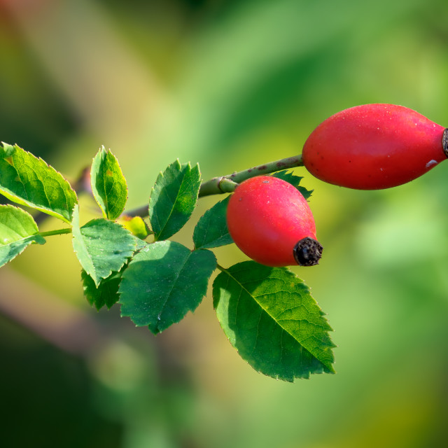 """Rosa canina, commonly known as the dog rose."" stock image"