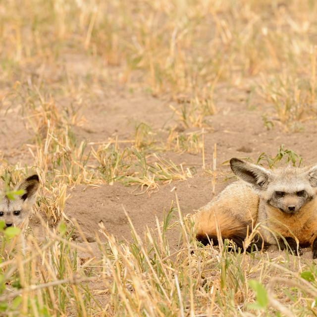 """""""Bat Eared Fox"""" stock image"""