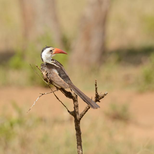 """Red-Billed Hornbill"" stock image"